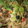 Easy Foraging: Local Dewberries