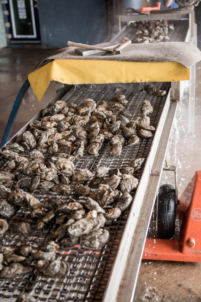 Gulf oysters are cleaned immediately after being fished from the Gulf of Mexico.